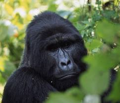 Gorilla Safari expeditions