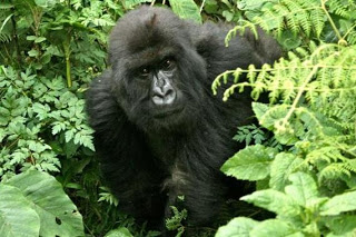 Uganda Gorilla Safari Expeditions