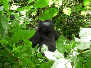 Rwandan Mountain Gorillas