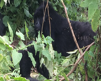 1 Day Congo Gorilla Safari